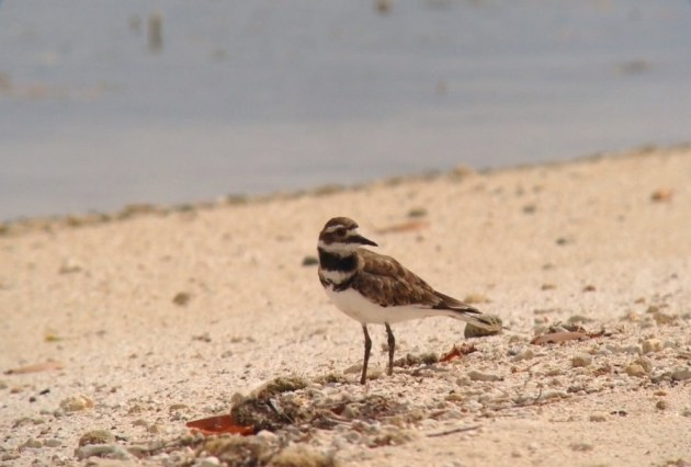 Killdeer near Savaneta, Aruba on 25 June 2014. Digiscoped with an iPhone 5 + Vortex Razor HD 20-60x85 & Phone Skope Adapter. iPhone photo by Tim Schreckengost.