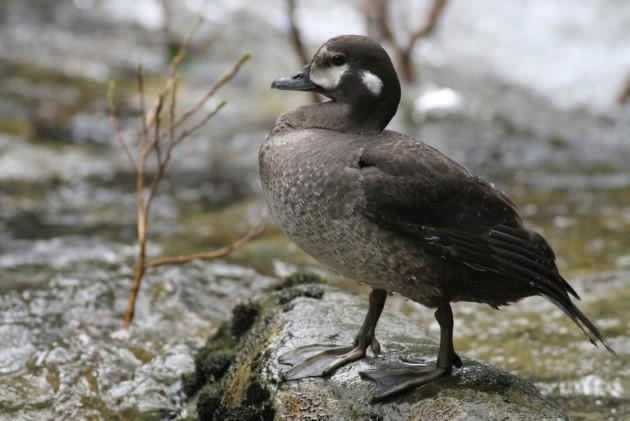 Harlequin Duck (Photo by Alex Lamoreaux)