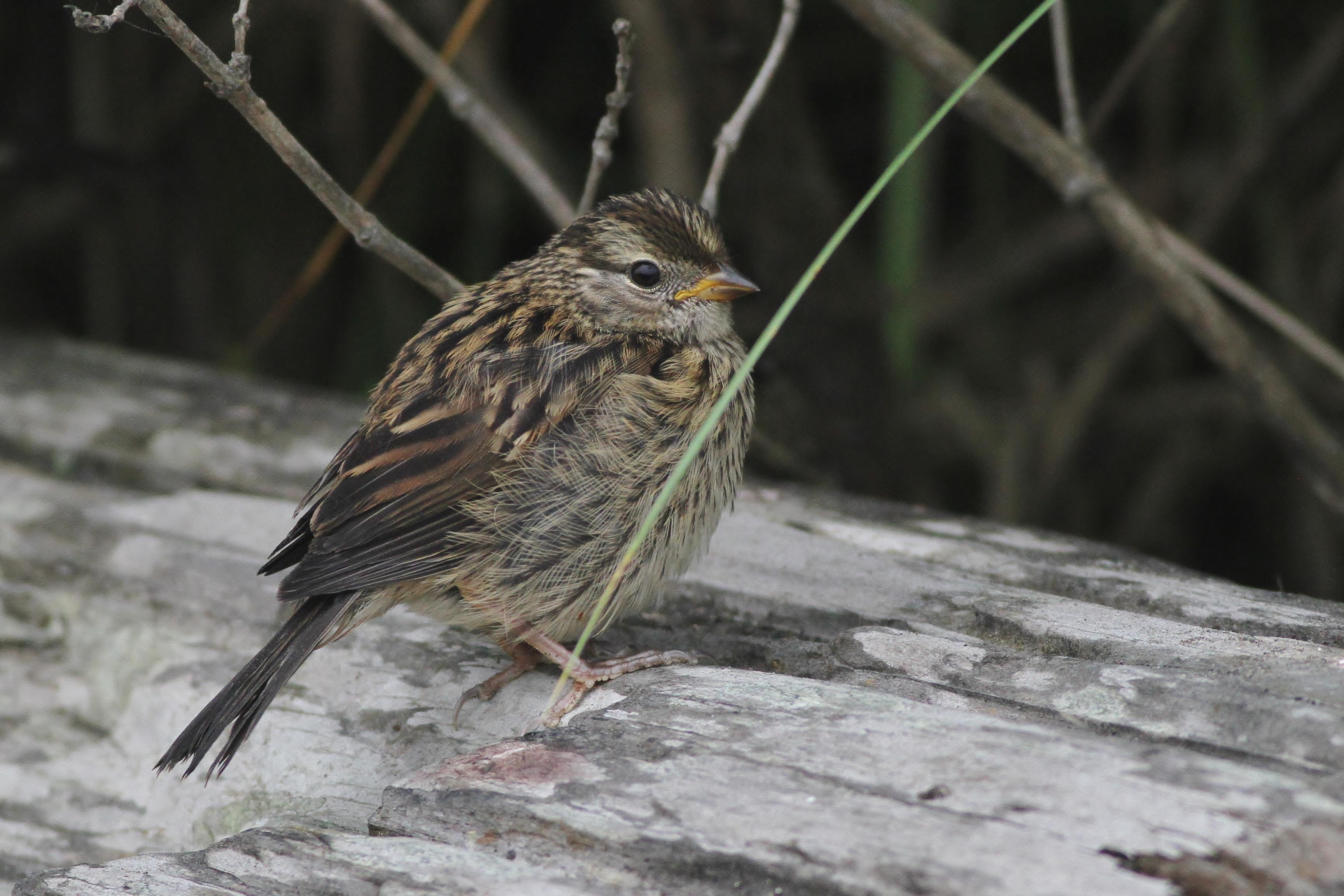 Puget Sound White Crowned Sparrows By Alex Lamoreaux