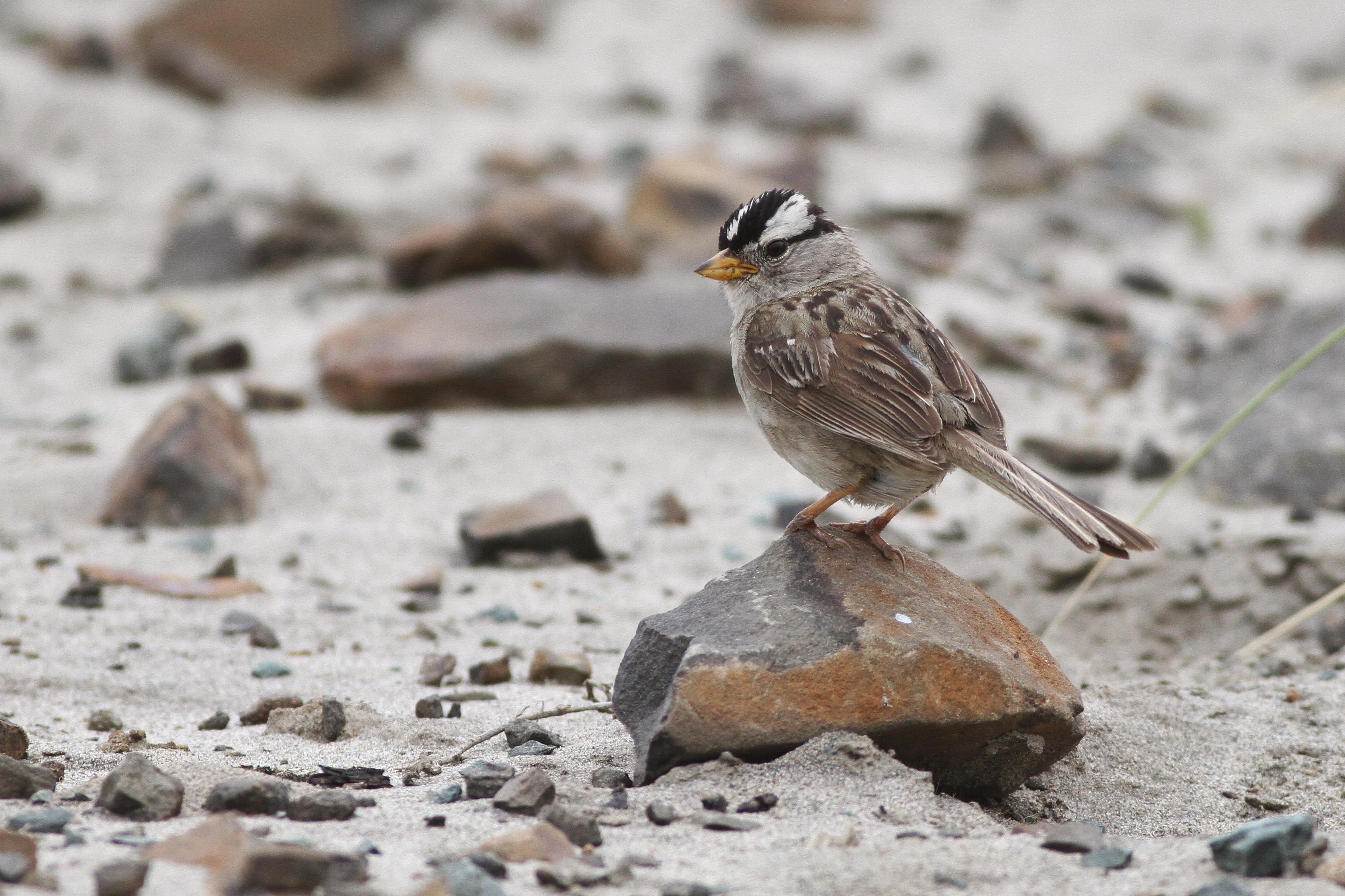 puget sound u0027 white crowned sparrows by alex lamoreaux nemesis bird