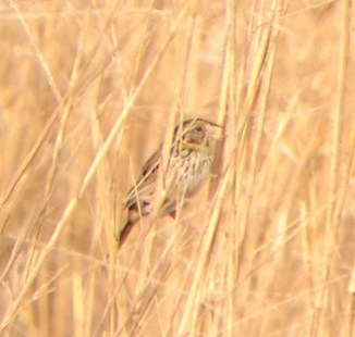 Henslow's Sparrow (Photo by Matt Sabatine)