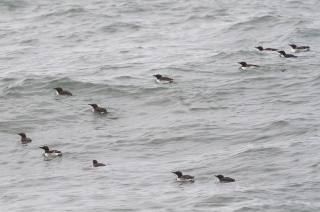 Flock of Common Murres offshore Westport, Washington (Photo by Alex Lamoreaux)