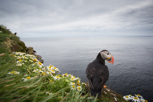 17 milimeters of pure wide-angle joy.  All of life's hardships momentarily melted away as I held my camera mere fractions of a foot from this Atlantic Puffin.  Note the daisies look rather radical in this photo. [Photo ©Lukas Musher]
