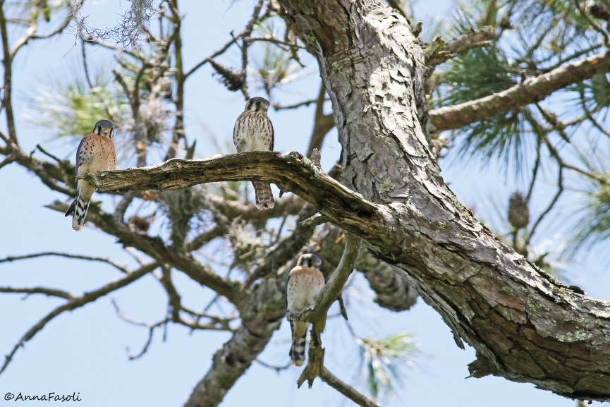 Southeastern American Kestrel chicks - recent fledglings (two male and one female)