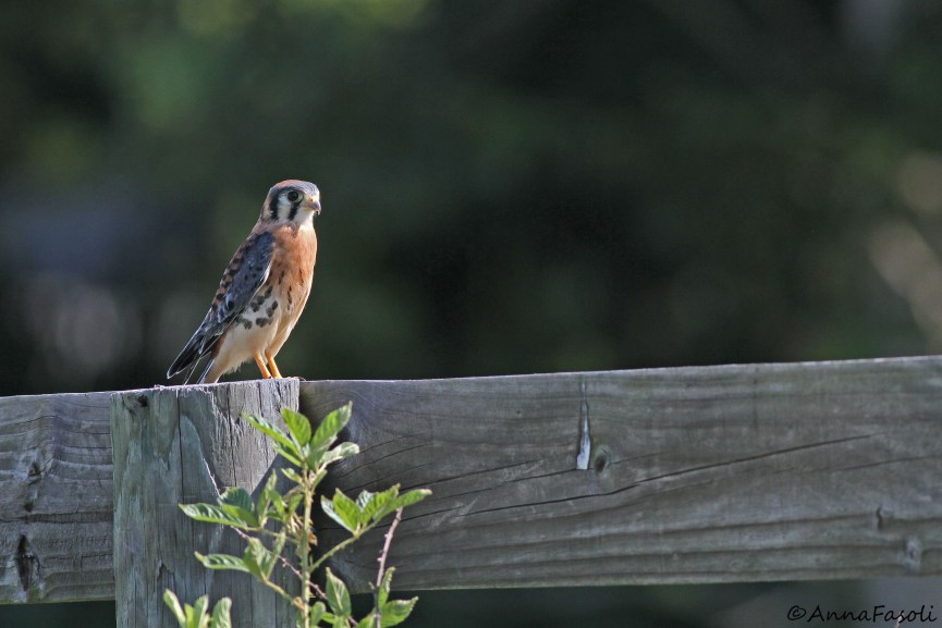 Southeastern American Kestrel chick - male; Recent fledglings can often be  found running along the tops of fence rows near their boxes.