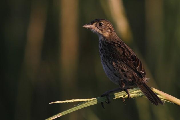 Juvenile Seaside Sparrow at Prime Hook NWR, Delaware (Photo by Alex Lamoreaux)