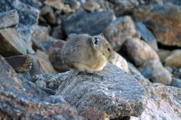 Pika were common in a few select rocky expanses high on Trail Ridge Road.