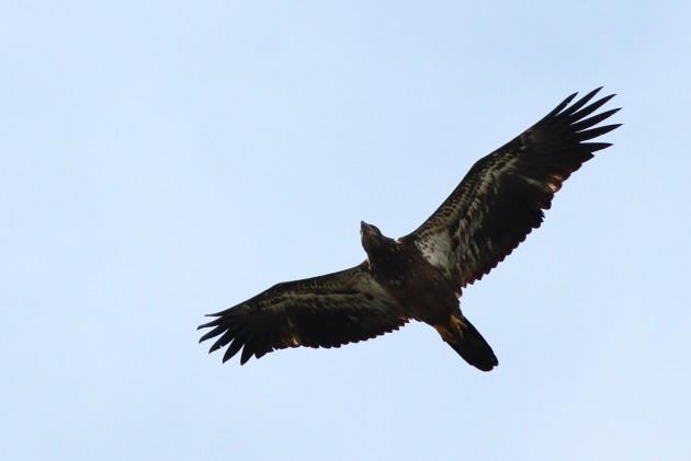 Juvenile (first-year) Bald Eagle (Photo by Alex Lamoreaux)