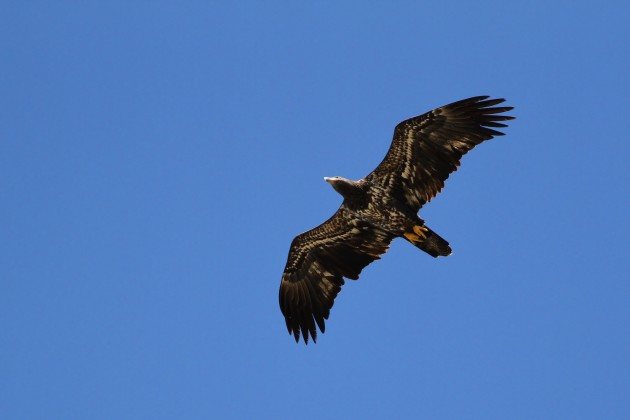 Second-year Bald Eagle migrating overhead. (Photo by Alex Lamoreaux)