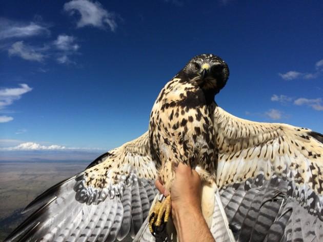 Immature Swainson's hawk, frontside.