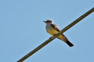 Western Kingbird (Photo by Alex Lamoreaux)
