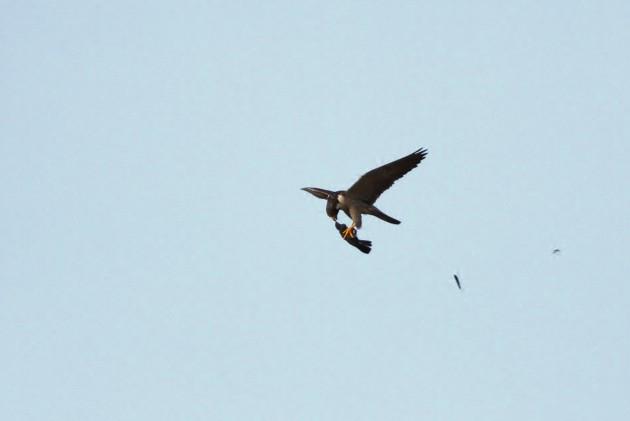 Peregrine Falcon with a Gray Catbird (Photo by Alex Lamoreaux)
