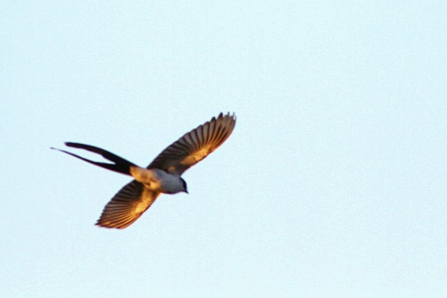 Fork-tailed Flycatcher during the Sunday morning field trip to the Cape May Meadows! (Photo by Alex Lamoreaux)