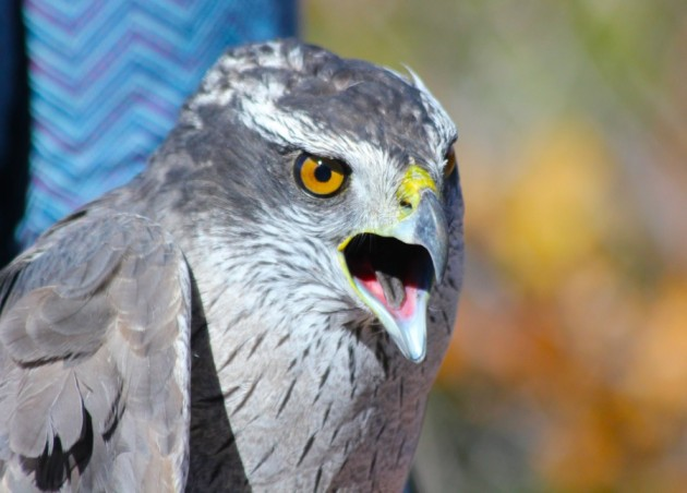 Second year Northern Goshawk (photo by Steve Brenner)