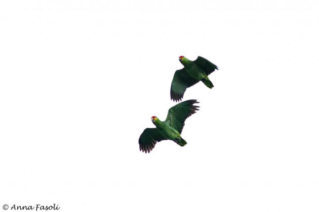 Red-lored Parrots flying over