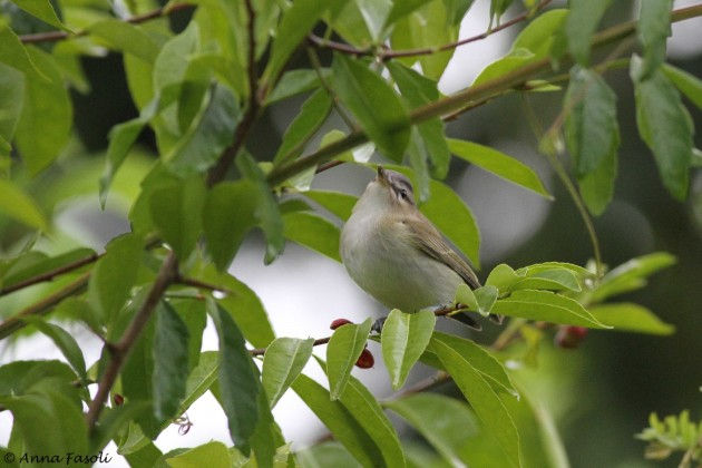 Red-eyed Vireo, a common migrant