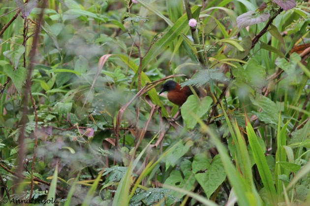 Ruddy Crake; Cattle Landing, Belize (Photo by Anna Fasoli)