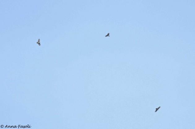 Hook-billed Kites overhead (Photo by Anna Fasoli)