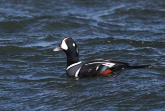 Harlequin Duck (Photo by Alex Lamoreaux)