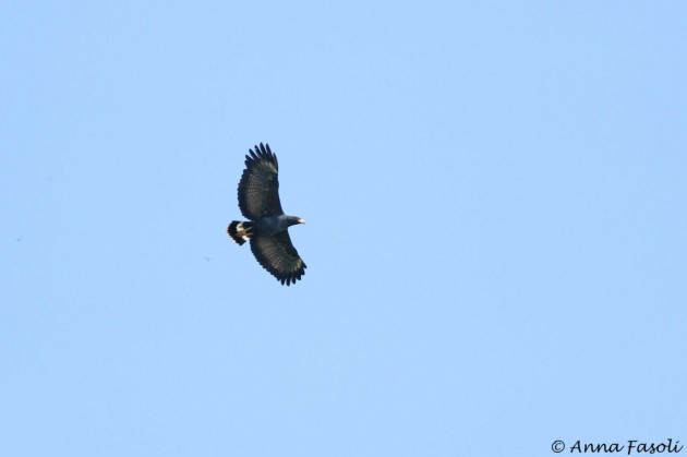 Adult Common Black Hawk; up to six individuals seen daily at the count site.