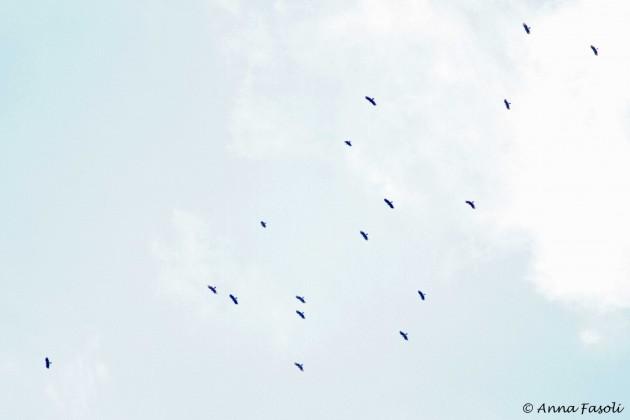 Hook-billed Kites