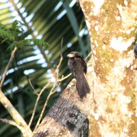 Groove-billed Ani clinging to a tree; note the feather -wear on its tail