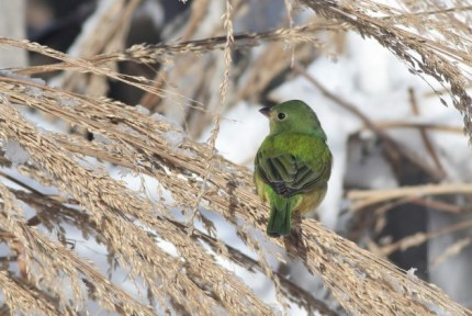 Painted Bunting - female or immature male, aka 'Greenie' (Photo by Alex Lamoreaux)