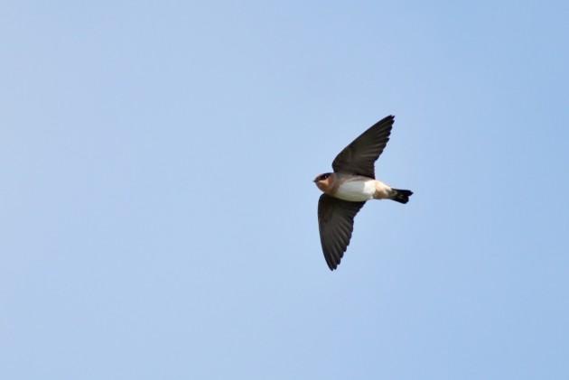 Cave Swallow (Photo by Alex Lamoreaux)