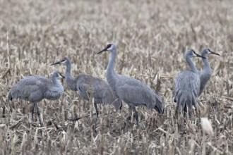 Sandhill Cranes (Photo by Alex Lamoreaux)