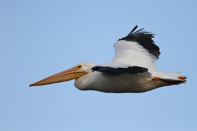 American White Pelican, Prime Hook NWR, DE (Photo by Alex Lamoreaux)