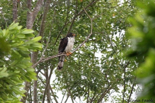 Gray-headed Kite - intermediate type immature (Photo by Anna Fasoli)