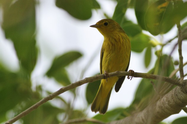 'Northern' Yellow Warbler (Photo by Alex Lamoreaux)