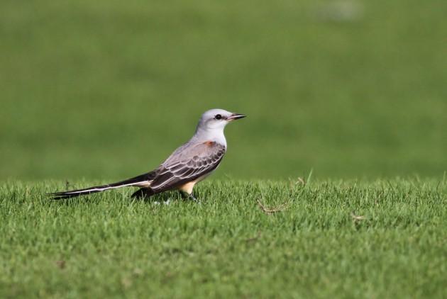 Scissor-tailed Flycatcher (Photo by Alex Lamoreaux)