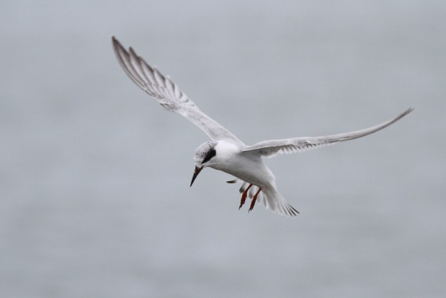 An immature Forster's Tern, a species that was particularly abundant this past fall season. (Photo by Alex Lamoreaux)