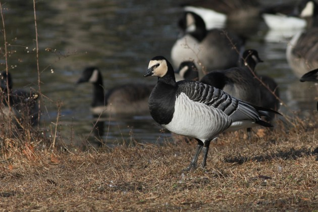 Male Barnacle Goose (Photo by Alex Lamoreaux)