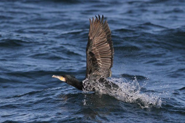 Adult Great Cormorant taking flight alongside the boat. (Photo by Alex Lamoreaux)