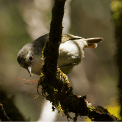 The endangered Akikiki, or Kauai Creeper, searches under moss and bark for grubs to eat. Photo by Robby Kohley.