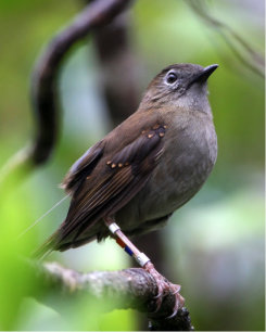 The endangered Puaiohi, or Small Kauai Thrush, is the island's only remaining native fruit-eating and seed dispersing animal. Photo by Mike Teruya.