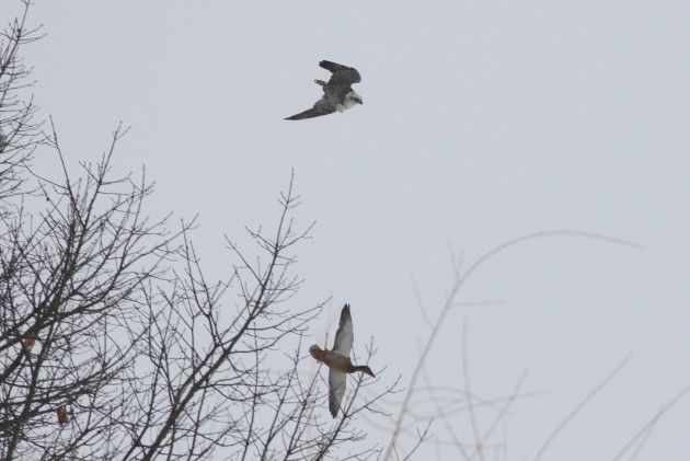 Gyrfalcon in hot pursuit of a Mallard. (Photo by Alex Lamoreaux)