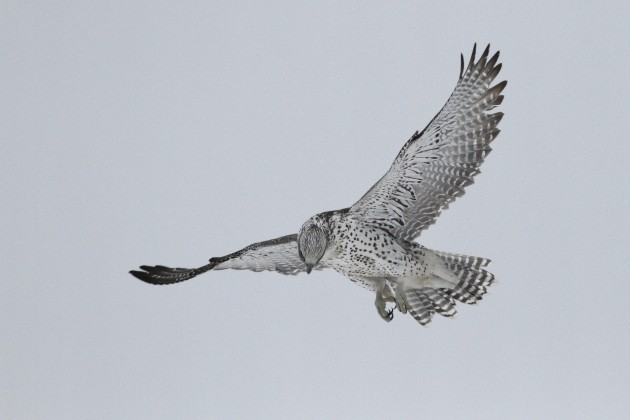 Gyrfalcon hovering over the Mallard it forced into the snow. (Photo by Alex Lamoreaux)