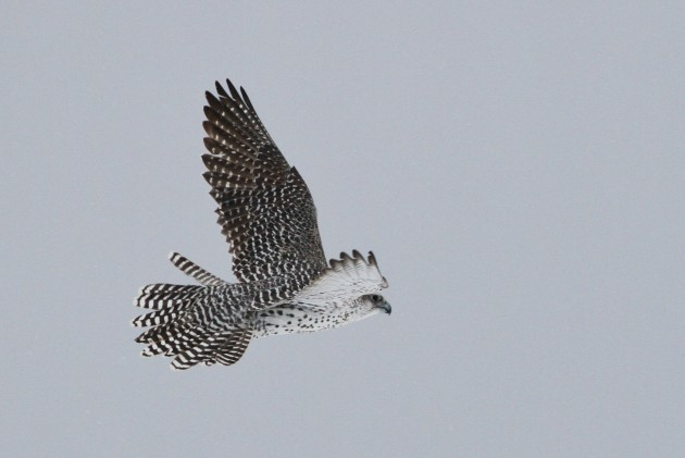 Gyrfalcon flying along Old Fort Rd. (Photo by Alex Lamoreaux)