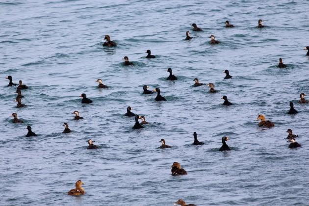 Common Eider and Black Scoter flock. Photo by Matt Sabatine.
