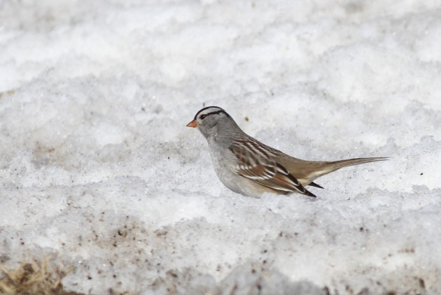 One more view of the adult Gambel's White-crowned Sparrow, showing the distinctly gray lores and smaller, orange bill. (Photo by Alex Lamoreau)