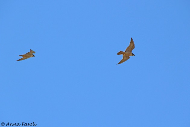 Peregrine Falcon aerial courtship - female on right, male on left