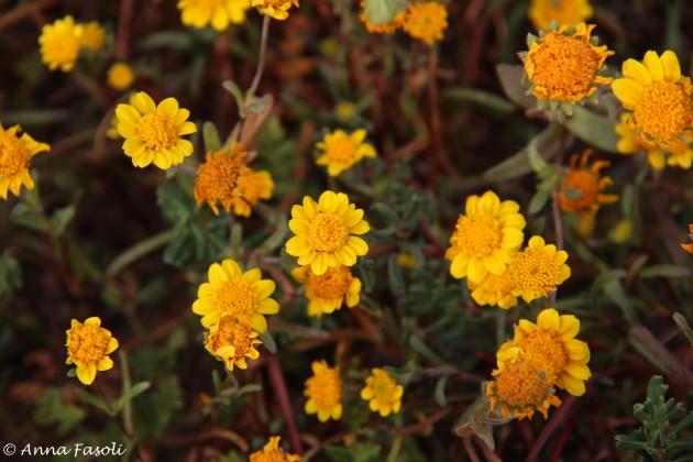 Common goldfields (Lasthenia gracilis)