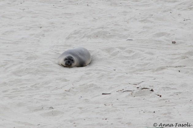 Northern elephant seal - adult female, Sandy Point, Santa Rosa Island