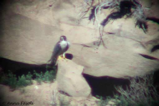 Peregrine Falcon; Trancion, Santa Rosa Island