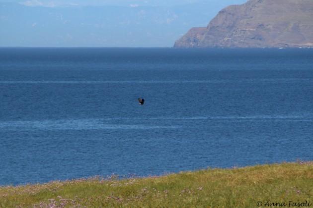 Adult Bald Eagle, unknown identity; East Point, Santa Rosa Island (Santa Cruz in distance)