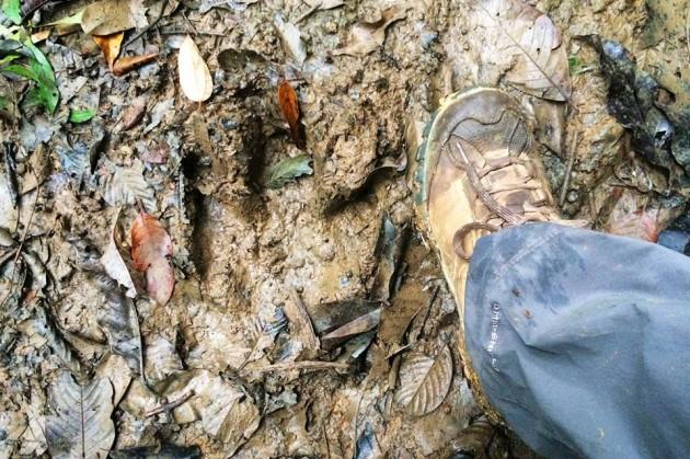 Baird's tapir track (next to my size 8 shoe)