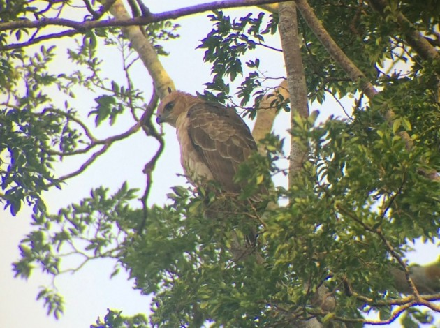 Wallace's hawk-eagle at RDC in Sabah, Malaysia on Feb. 21 2015. Digiscoped with an iPhone 5 + Alpen 20 – 60mm & Phone Skope Adapter. iPhone photo by Steve Brenner.